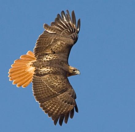 red-tailed-hawk-02-san-juan-islands-washington