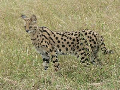 800px-Serval_in_Tanzania
